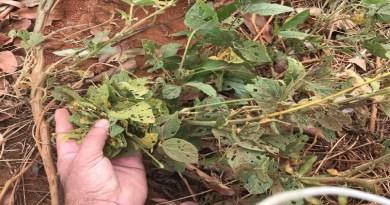 A dinâmica da ferrugem nas plantas guaxas e a situação em Mato Grosso