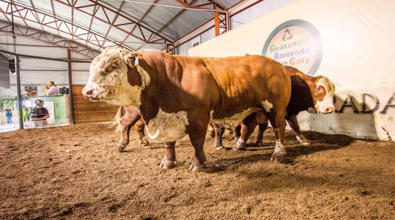gado rs 10 9 - Crédito Rodrigo Alves Vieira Divulgação (1)