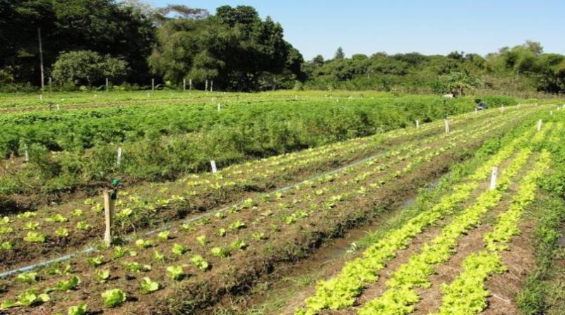 agroecologia plantacao liliane bello embrapa