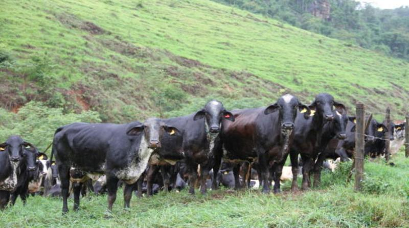 gado leite vaca embrapa