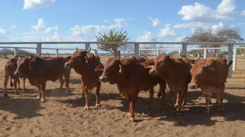 gado embrapa 29 1 19