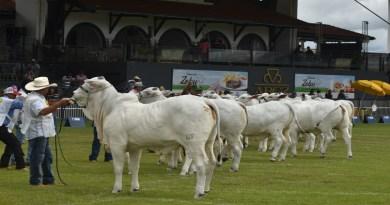 Expoinel Minas marca início das exposições da raça Nelore