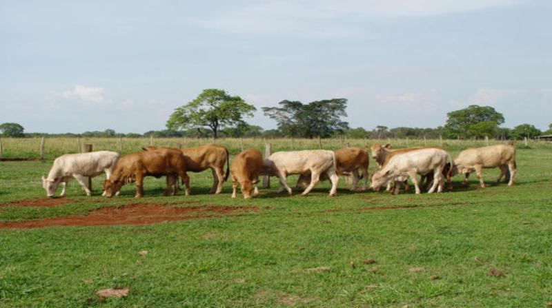 bovinos 29 3 19 josimar do nascimento embrapa