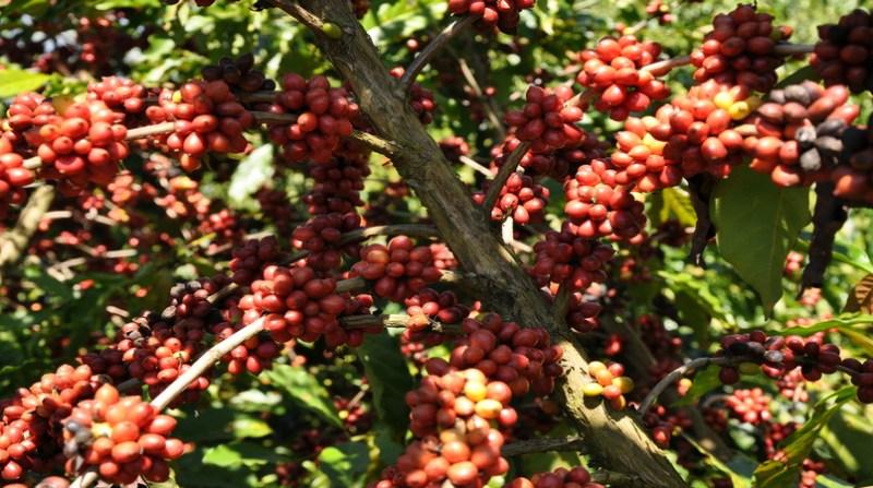 cafe embrapa 8 3 19