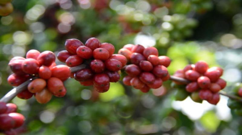cafe rafael rocha embrapa 3 4 19