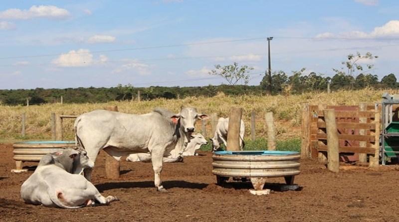 bovinos tomando agua gisele rosso embrapa