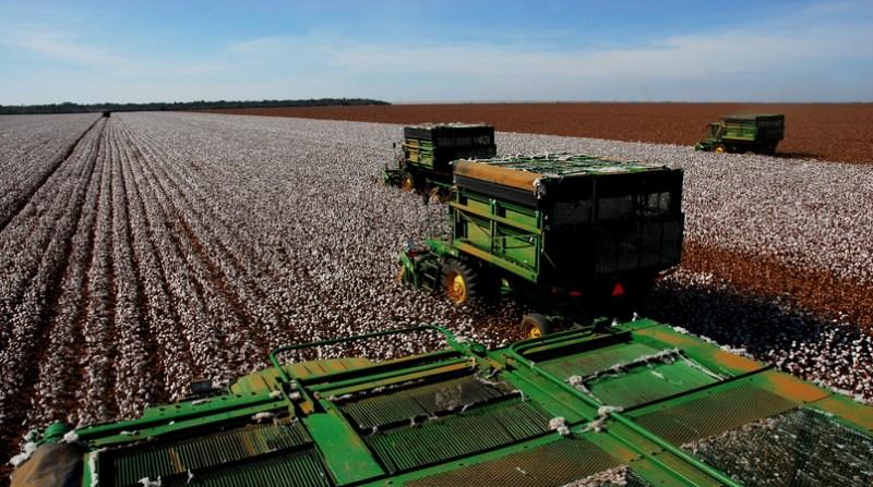 Algodão colheita maquinas na lavoura
