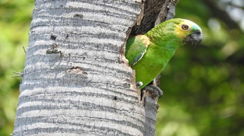papagaio pantanal embrapa glaucio seixas