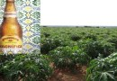 Produção de cerveja de mandioca beneficia agricultura familiar maranhense