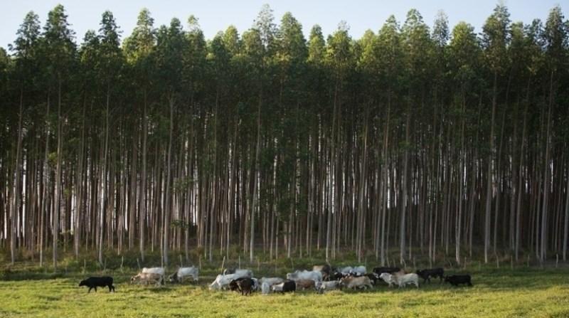 gado floresta abc cerrado senar divulgacao