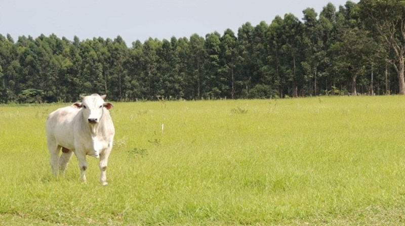bovinos pasto ana maio embrapa