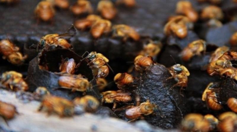abelhas ronaldo rosa embrapa 20 01 2020