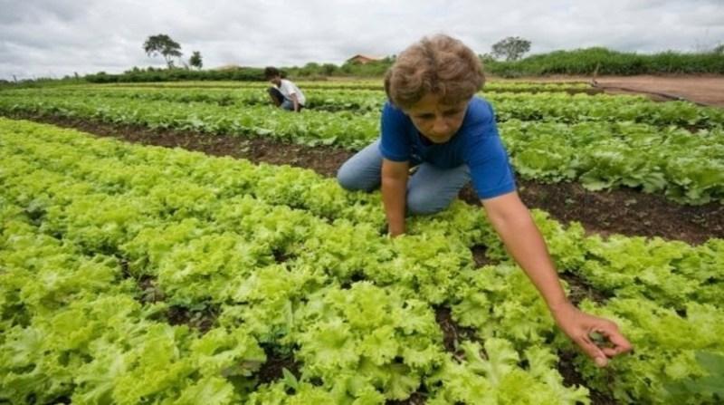 agricultura familiar colheita alface contag divulgacao