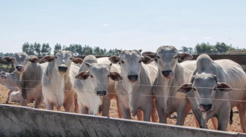 bovinos corte juliana sussai embrapa 21 1 2020