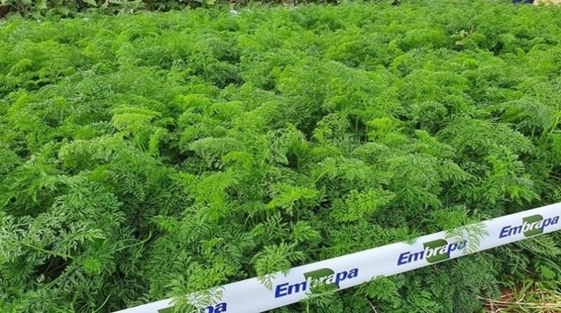 cenoura organica 2 agnaldo carvalho embrapa