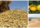 Governo reajusta preços mínimos da laranja, trigo e arroz