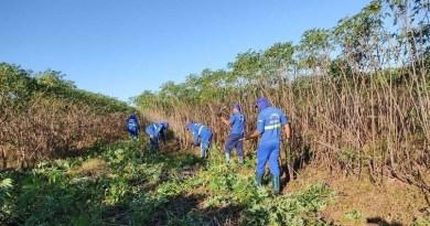 MS: Cooperativa espera aumentar produtividade em até 50% de mandioca