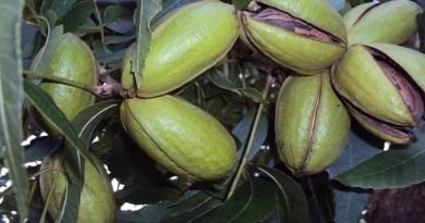 1º Encontro do Polo Sul-Americano da Noz-pecã debate produção da fruta