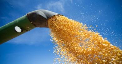 Com proximidade da colheita, preço do milho cai na maioria das regiões