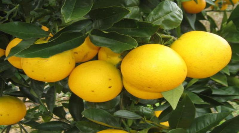 Geada atinge cinturão citrícola de SP e preocupa produtores