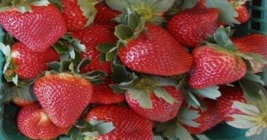 Estudo da Embrapa aponta viabilidade do cultivo de morango hidropônico no DF