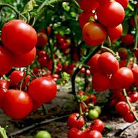 Янтарная кислота для рассады томатов