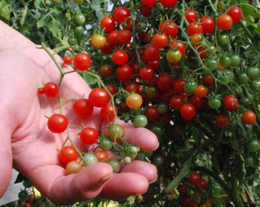 beneficiile roșiilor de cireșe pentru pierderea în greutate pierdere în greutate san diego ca
