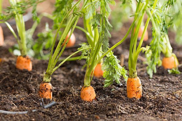 morcovi  Agrointeligena