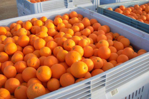 naranjas caja export