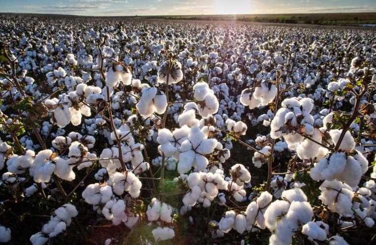 Desafios de saúde vegetal podem comprometer até 90% da produção de algodão, com forte impacto na indústria têxtil