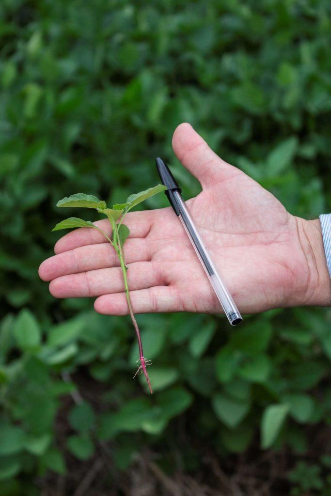 Controle do caruru (Amaranthus hybridus)