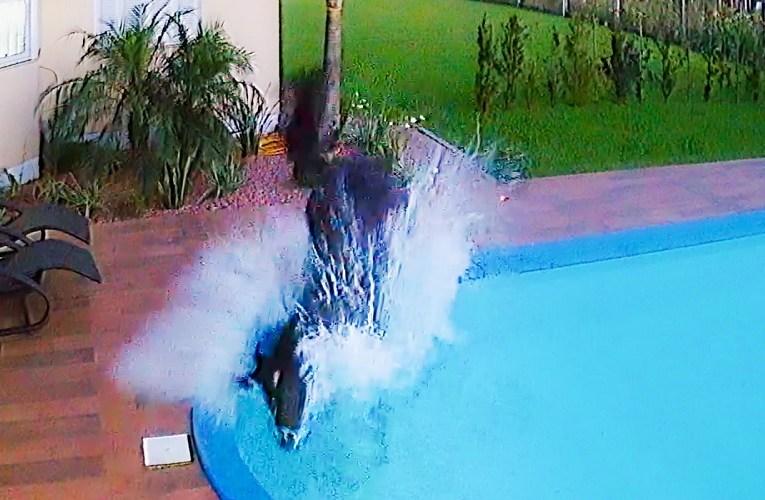 Cavalo entra em casa e cai na piscina