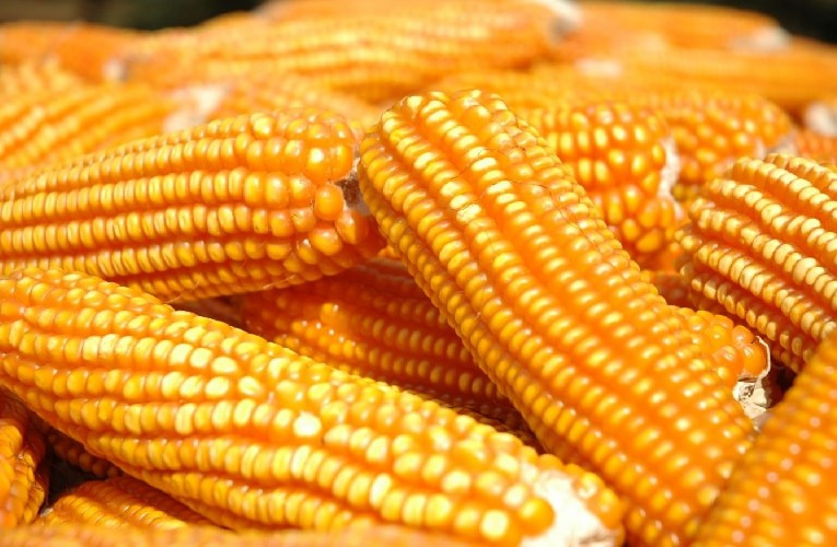 Milho pode continuar subindo com atenção no Brasil e Estados Unidos