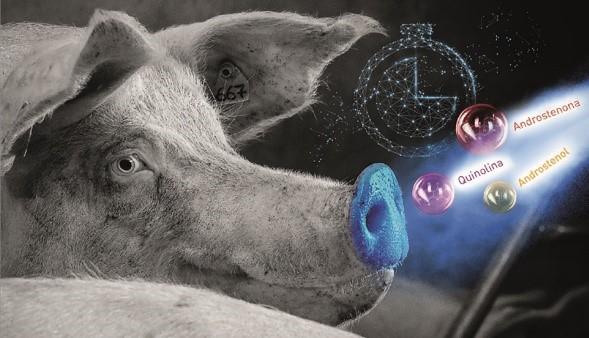 Feromônios sintéticos para detecção do cio ajudam a maximizar rentabilidade da suinocultura