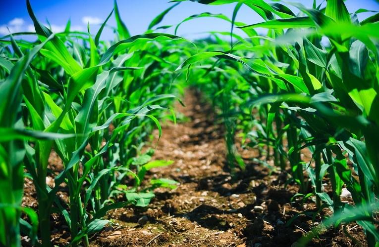 Importância do Zinco para o desenvolvimento da cultura do milho