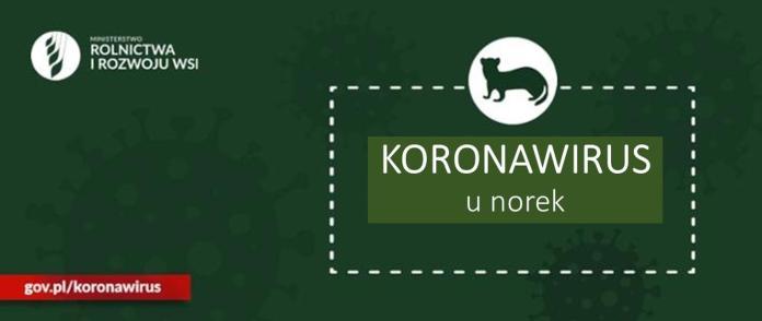 Pierwszy przypadek zakażenia SARS-CoV-2 u norek w Polsce