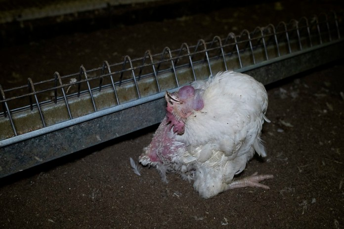 Hodowca drobiu skazany za zabicie 2000 zwierząt ze szczególnym okrucieństwem