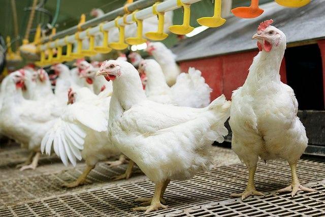 drób, ceny drobiu, ceny kurcząt, kurczaki, AgroNawigator, eksport drobiu, PKO BP,