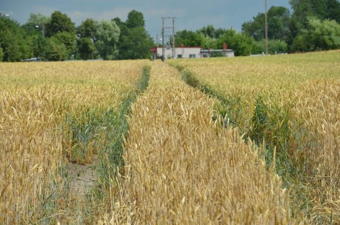 rolnik, rolnictwo, portal rolny, susza, Polska Grupa Nasienna, Sowul