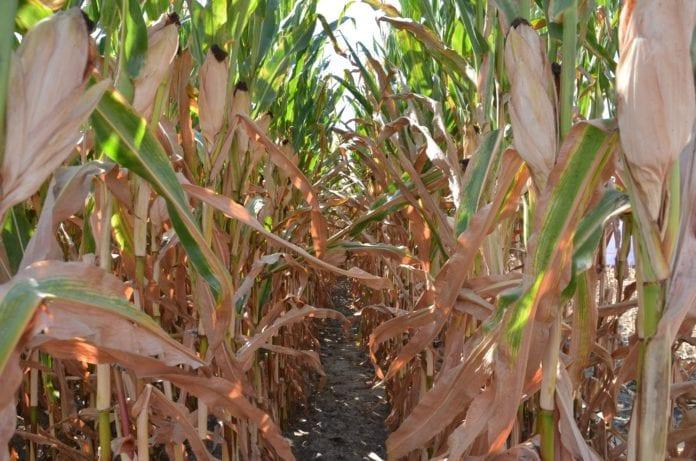 kukurydza, siewy i zbiór kukurydzy, Sezon wegetacyjny, zbiory kukurydzy, kukurydza na ziarno, odmiany kukurydzy