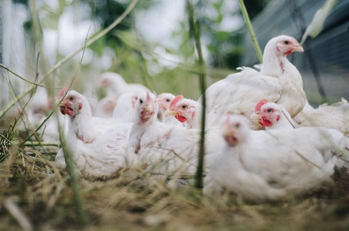 Jak Wielkopolska radzi sobie z ptasią grypą