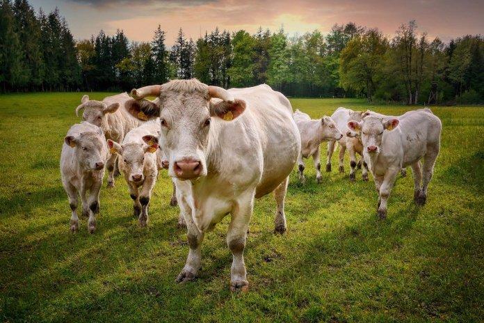 Czy wiesz, jaka jest długowieczność twojego stada?