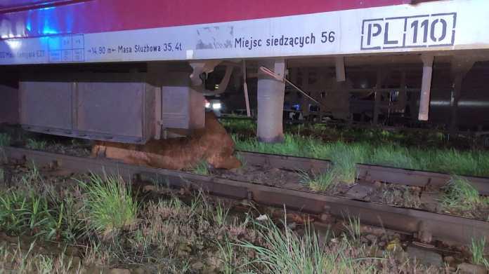 Pociąg potrącił w dwie krowy! Zwierzęta utknęły pod kołami składu