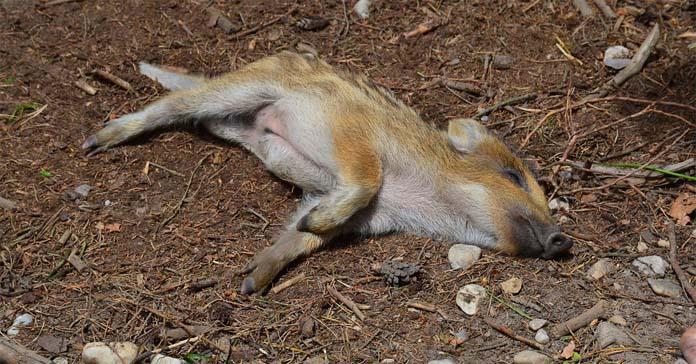 Redukcyjny odstrzały dzików w Jaworznie