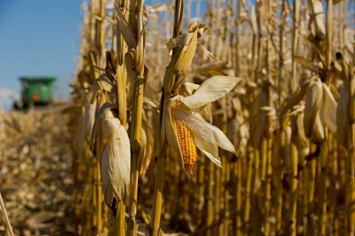 rolnik, rolnictwo, kukurydza, kukurydza na ziarno, COBORU
