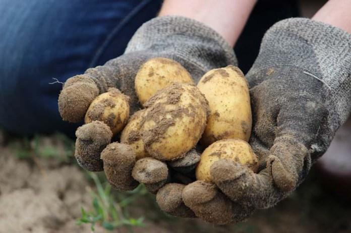 rolnik, ceny ziemnikaów, ziemniaki, Instytut Ekonomiki Rolnictwa i Gospodarki Żywnościowej, , GUS, Jakub Olipra, Credit Agricole