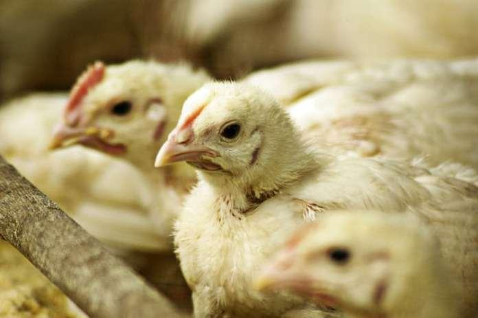 Francja ostrzega przed grypą ptaków