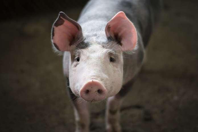 ASF w Belgii, ASF, Chiny, PKO BP, AgroNawigator, ceny wieprzowiny, eksport wieprzowiny,