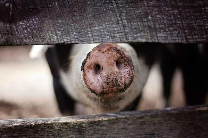Ceny skupu trzody chlewnej, Instytut Ekonomiki Rolnictwa i Gospodarki Żywnościowej, trzoda chlewna, cena trzody, świnie, Opłacalność hodowli trzody chlewnej,