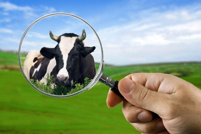 wąglik, krowy, Francja, francuskie rolnictwo, choroby zwierząt, szczepionka, bydło